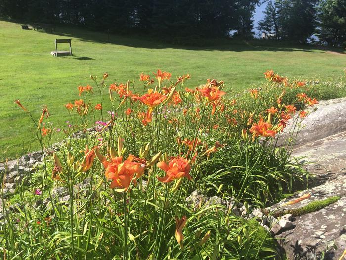 Ellsworth tiger lilies