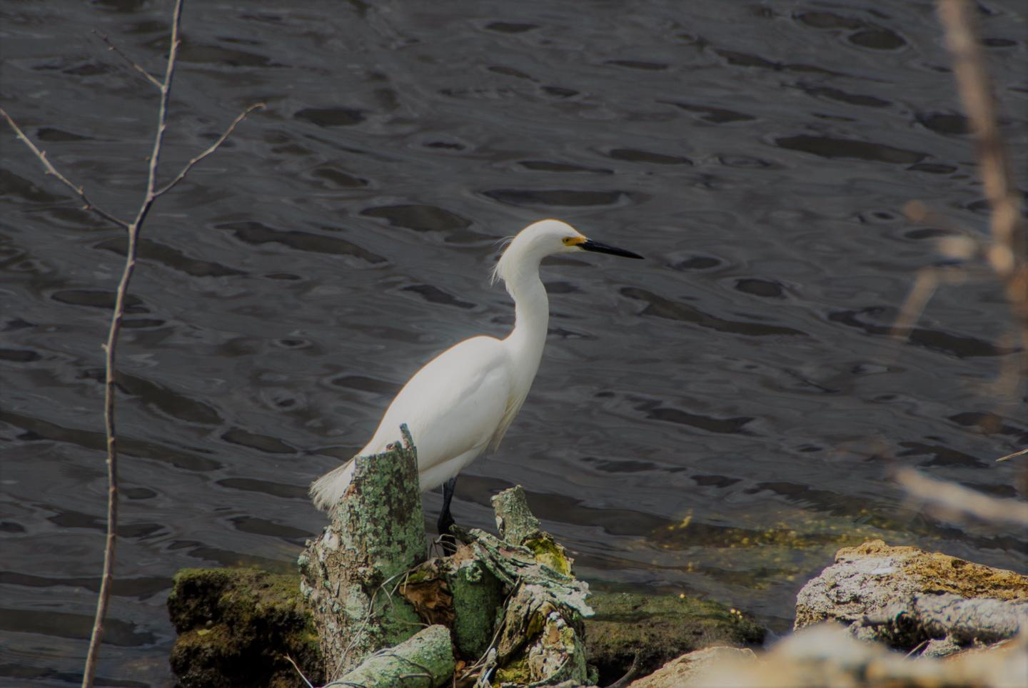 Snowy Egret on shoreline