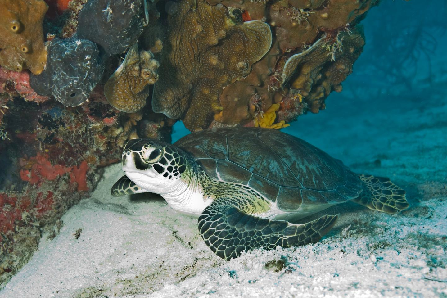 Green sea turtleLoggerhead, Green and Hawksbill turtles are all commonly observed in park waters.