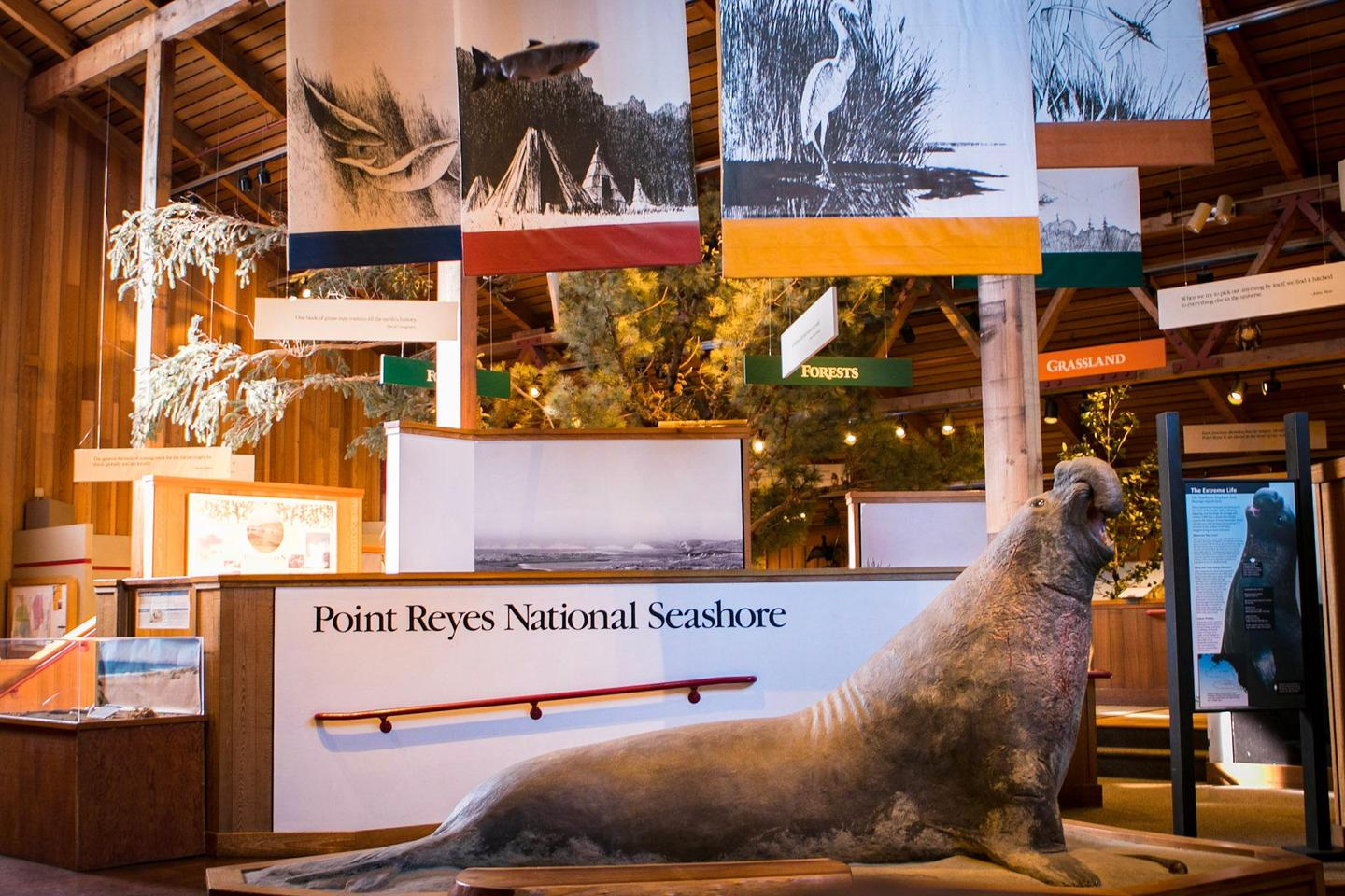 Bear Valley Visitor Center: Elephant Seal ModelOne of the first things visitors notice upon entering the Bear Valley Visitor Center is a full-size model of a bull elephant seal.