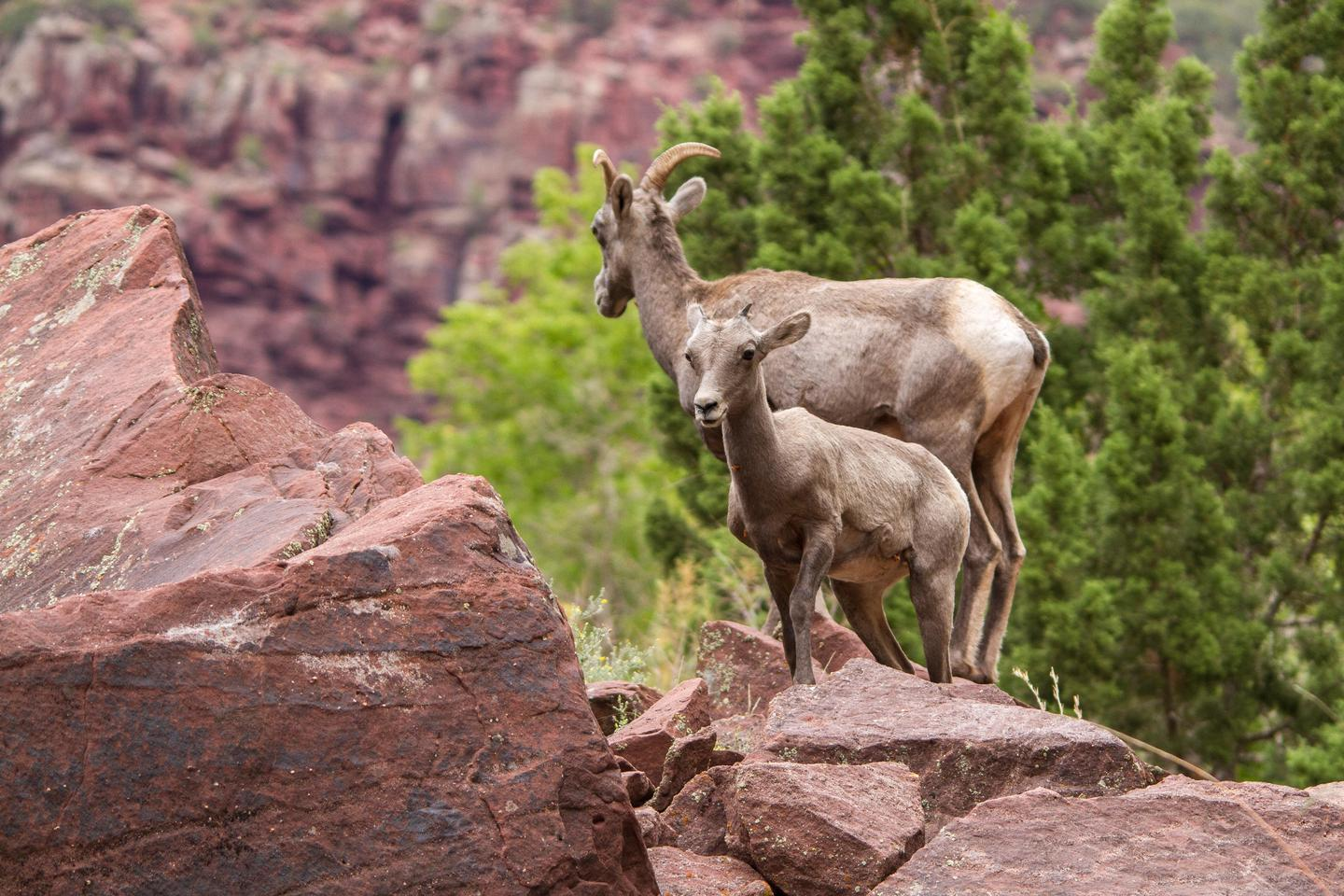 Rocky Mountain BighornsVisitors to Dinosaur may also see its diversity of wildlife including Rocky Mountain bighorn sheep.