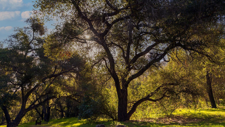 Los Prietos Tree