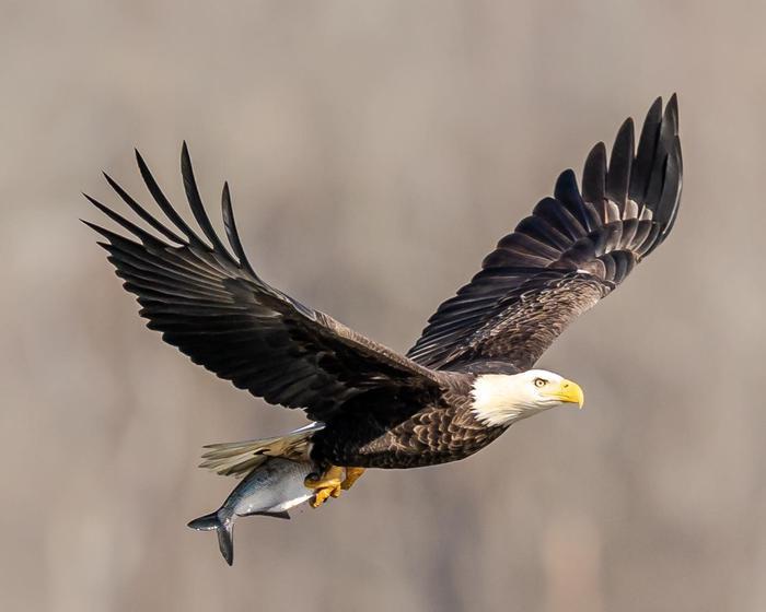 Eagles at the Dam Bald Eagle