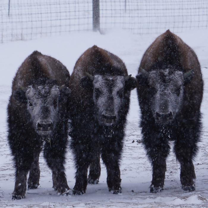 Three bison wait out a winter stormFort Peck has a small bison herd.  These three were waiting out a winter storm.