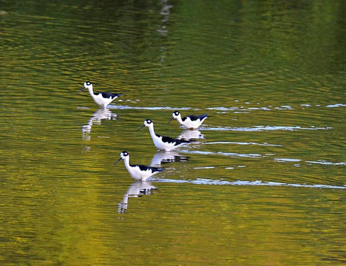 Four Stilts for the Bird WatchersFour Stilts in the Francis Bay Pond