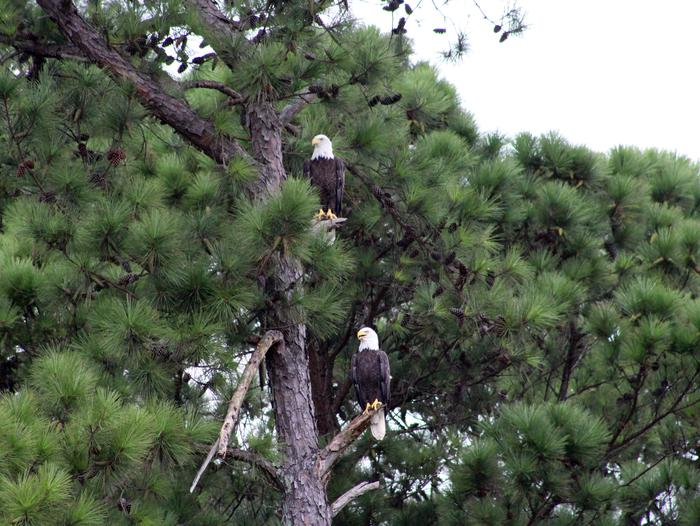 Wildlife American Bald Eagles
