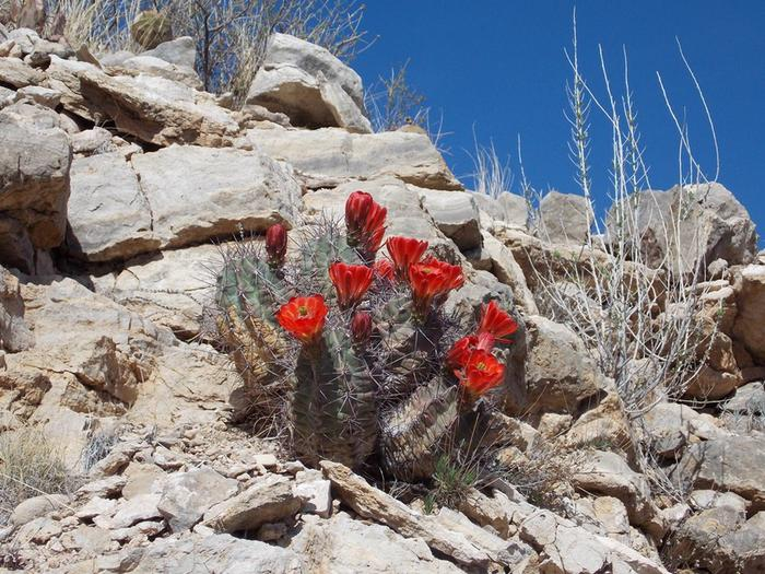 Life Among RocksAmid the arid rocky environment, a hedgehog cactus blooms in the spring.