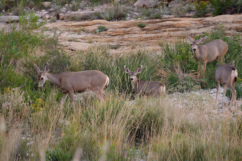 Mule DeerMule deer find food in a drainage.