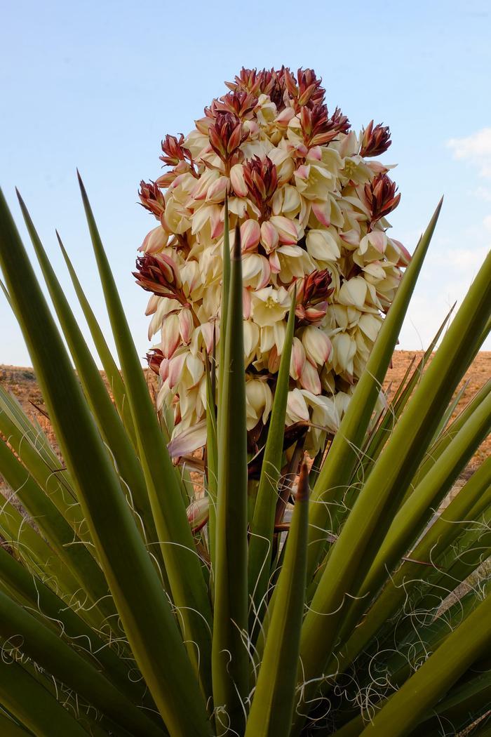 Yucca BloomingYucca blooming