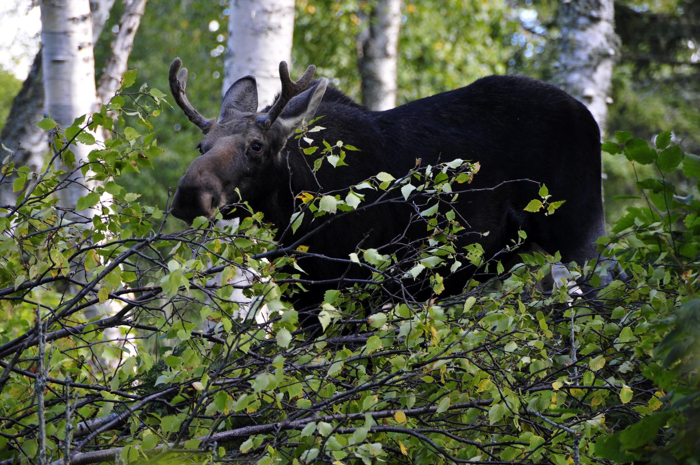 Bull MooseMoose are one of the few mammal species who have journeyed to the island.