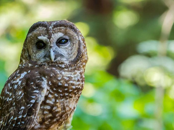Spotted OwlSpotted Owl in Muir Woods