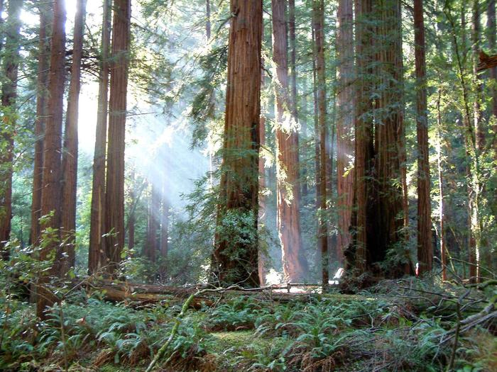 Redwood trees in Muir WoodsRays of sun through the redwood tress.