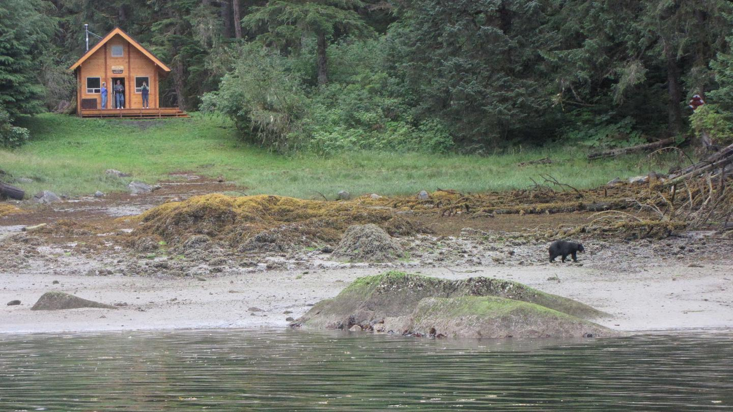 Black bear walking on beach with cabin in background.Bear viewing from cabin.