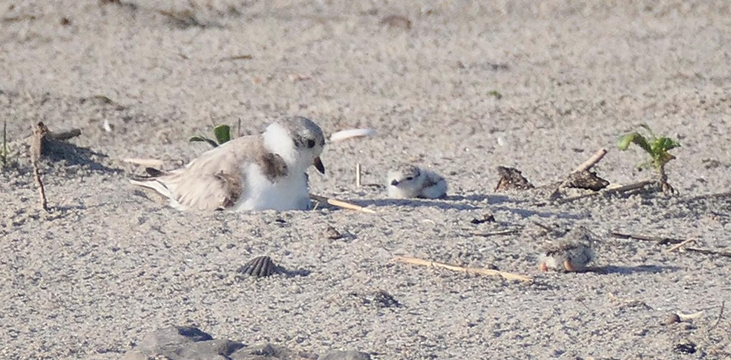 Plovers at Breezy PointPiping plovers, such as these chicks, find a safe haven at Gateway's oceanside beaches
