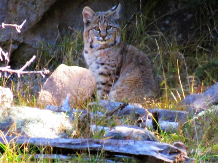 Wildlife Wonders of the Valles CalderaBobcats, eagles, elk, and black bears call the Valles Caldera home.
