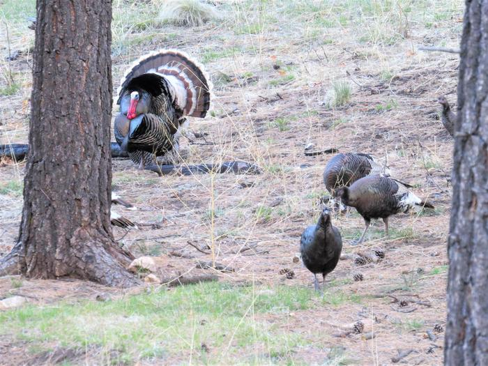 Wild Turkey hens and a tom too!Birding in the Preserve can be very rewarding!
