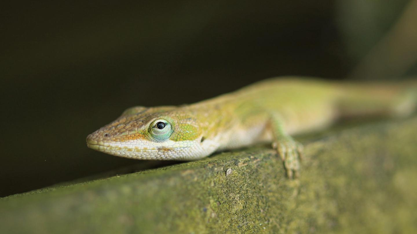 Green AnoleGreen anoles are commonly seen in the Big Thicket
