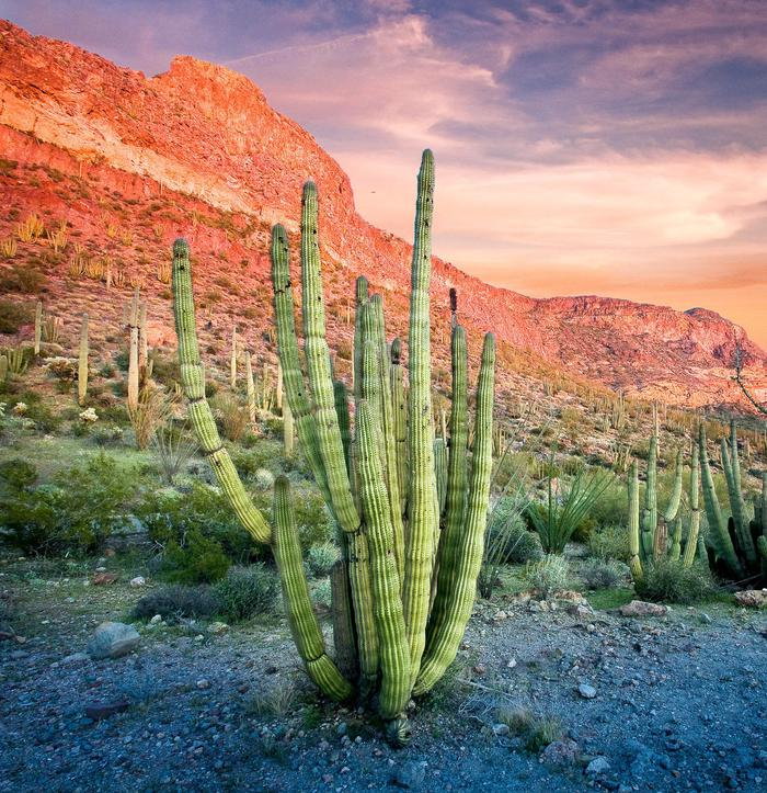 Organ Pipe Cactus at sunsetVisit the only place in the U.S. where you can see large stands of organ pipe cacti.
