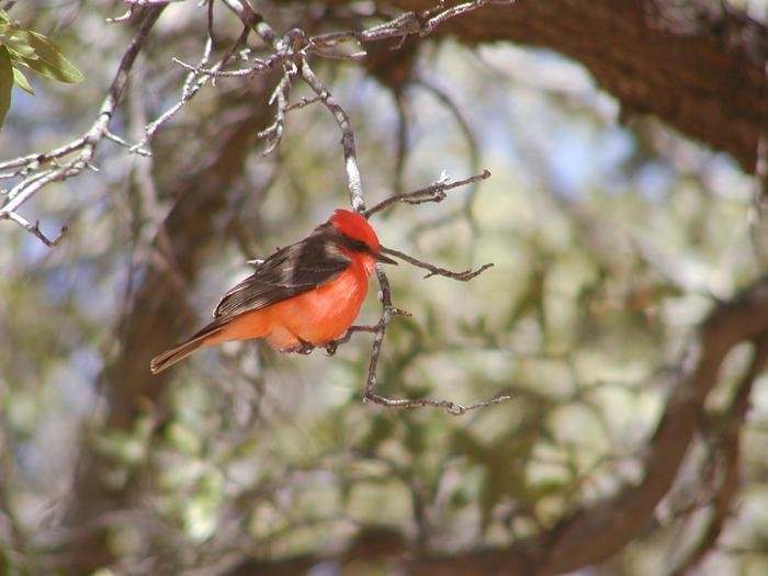 Vermillion FlycatcherA great diversity of birds are found in and near Coronado National Memorial