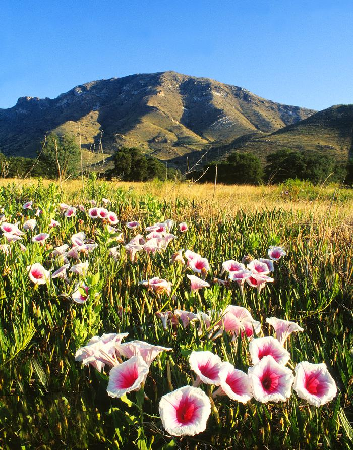 Pink-throated morning glories in the grasslandsEach year the pink-throated morning glories bloom during monsoon season in the grasslands