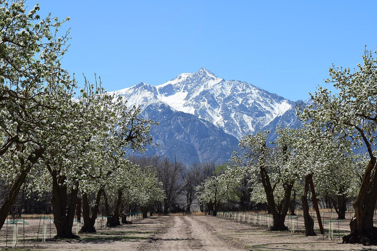 Manzanar Pear Orchard and Mount Williamson