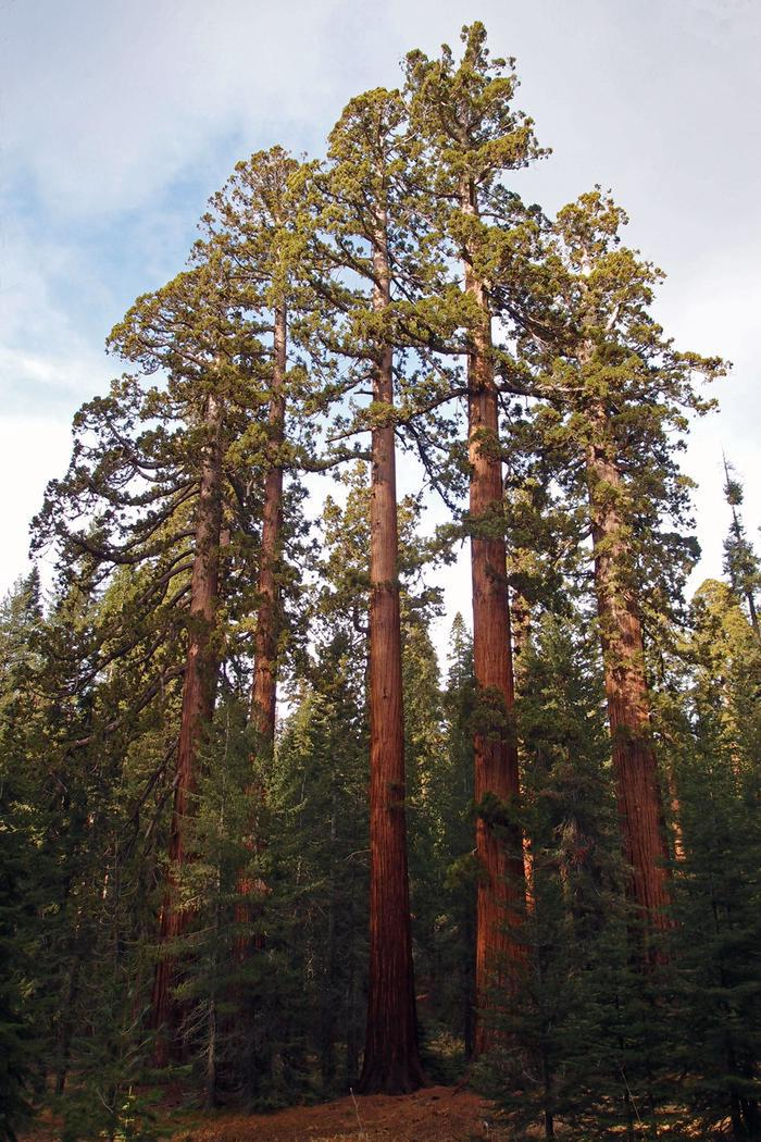 Giant Sequoia Trees in the Mariposa Grove of Giant SequoiasYosemite National Park's massive giant sequoias (Sequoiadendron giganteum) live in three groves in the park. The most famous of these is the Mariposa Grove, which contains about 500 mature giant sequoias.
