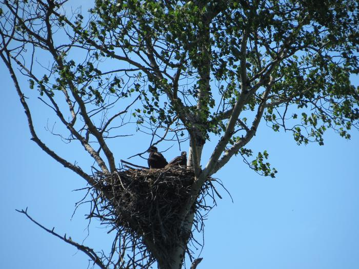 Eagle nest and eaglets in Aspen tree