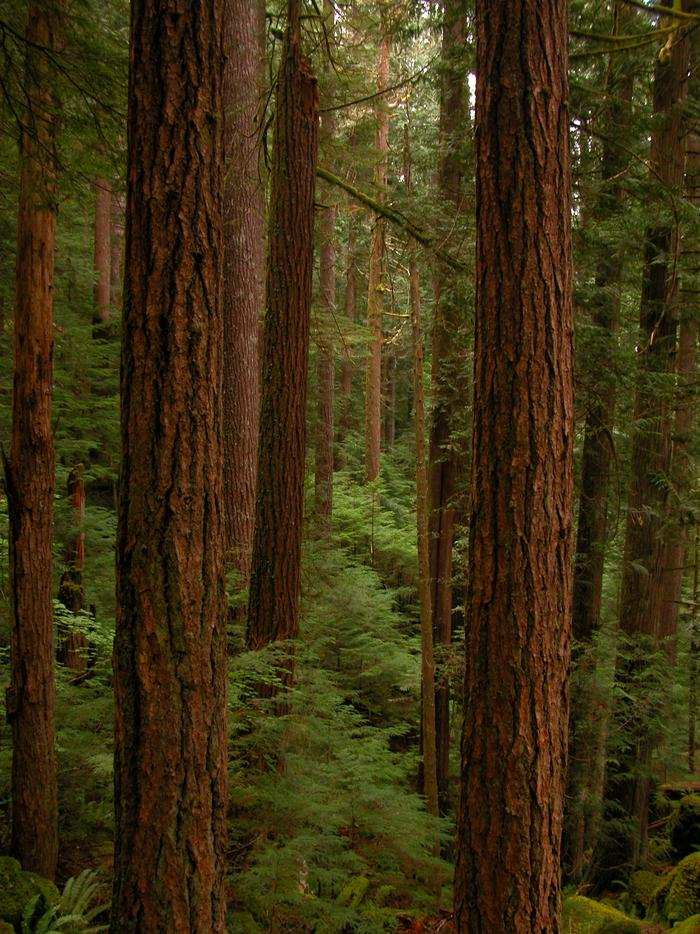 Olympic ForestLarge trees and ferns inhabit the temperate forests of Olympic.