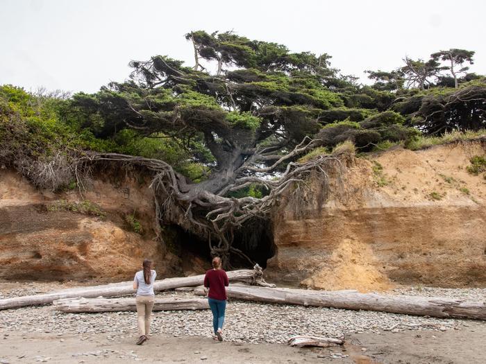 "Kalaloch Tree of LifeThe Kalaloch ""Tree of Life"""
