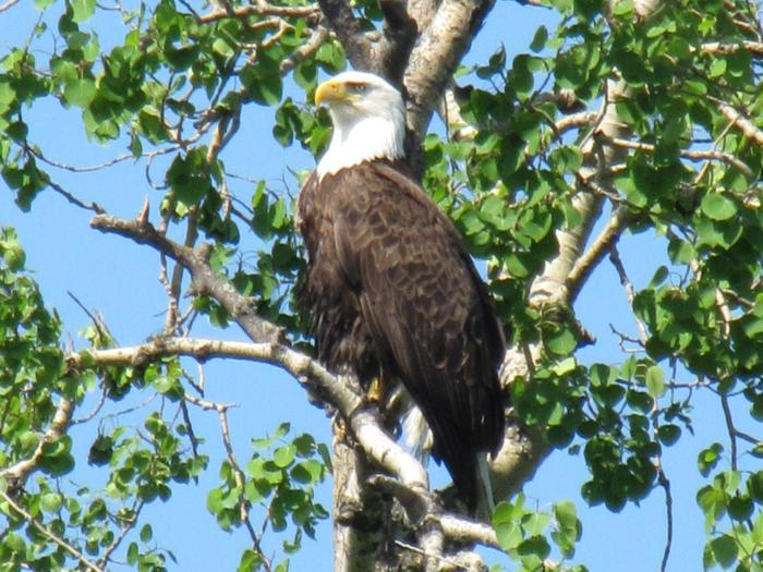 Bald eagle perched in an aspen tree
