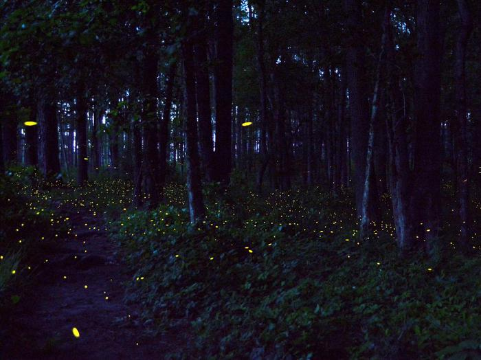 Synchronized Fireflies Congaree Synchronized Fireflies
