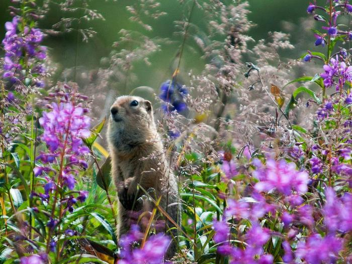 A ground squirrel sits in fireweedThere are many opportunities to spot wildlife along the road and for wildlife to spot you.