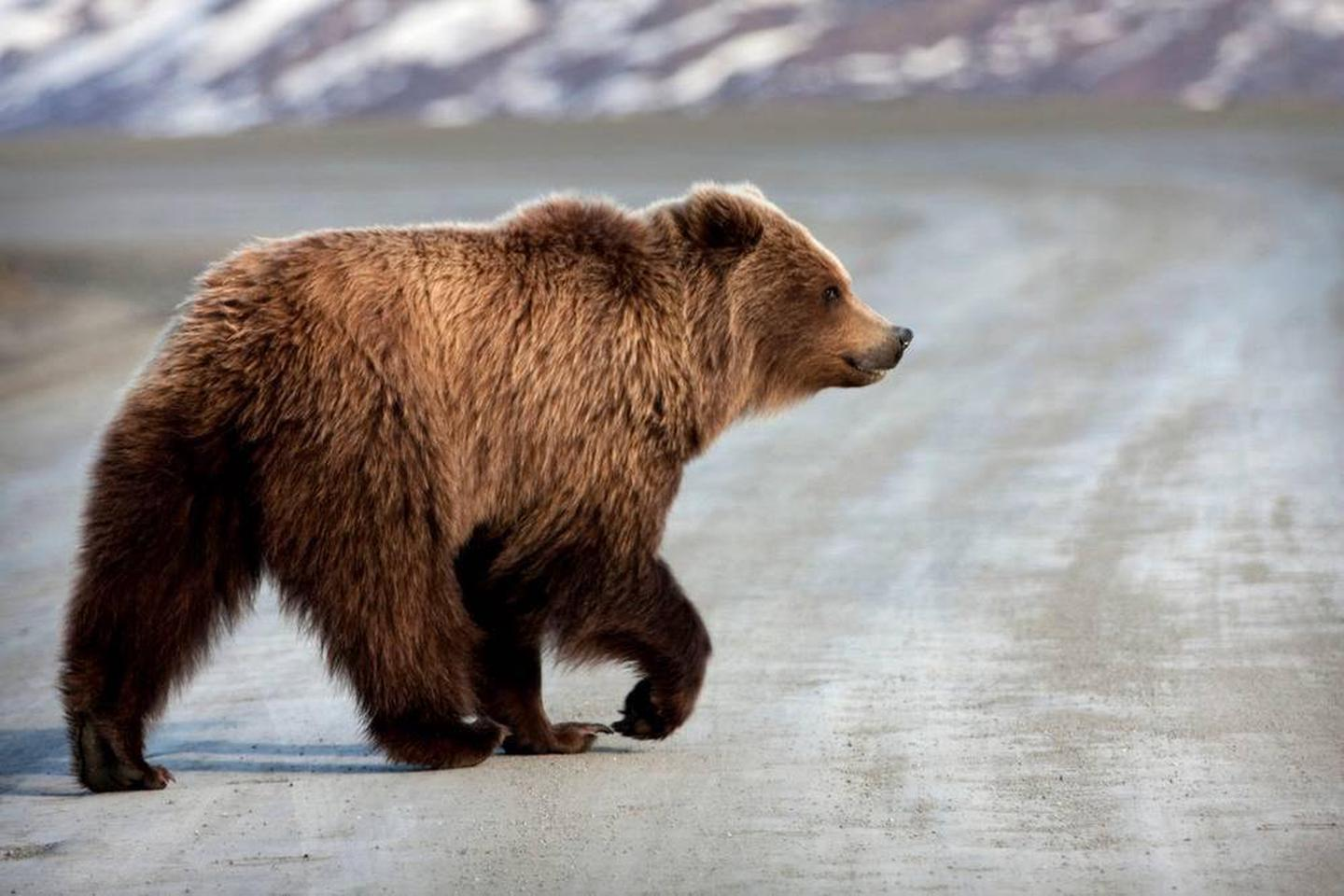 a grizzly bear walking down a dirt roadAnimals use the park road as well--be sure to give them plenty of space to avoid altering their behavior as they search for food during the short Alaskan summer.