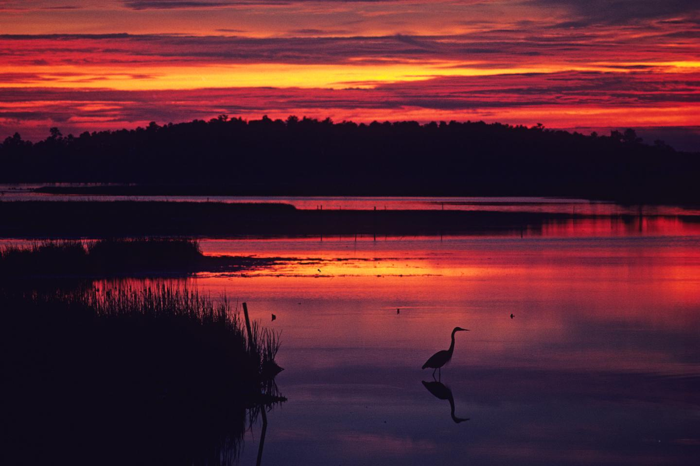 Heron at sunset at Blackwater NWRMany people visit Blackwater National Wildlife Refuge to spot birds, like this heron, that rely the natural resources of the landscape.