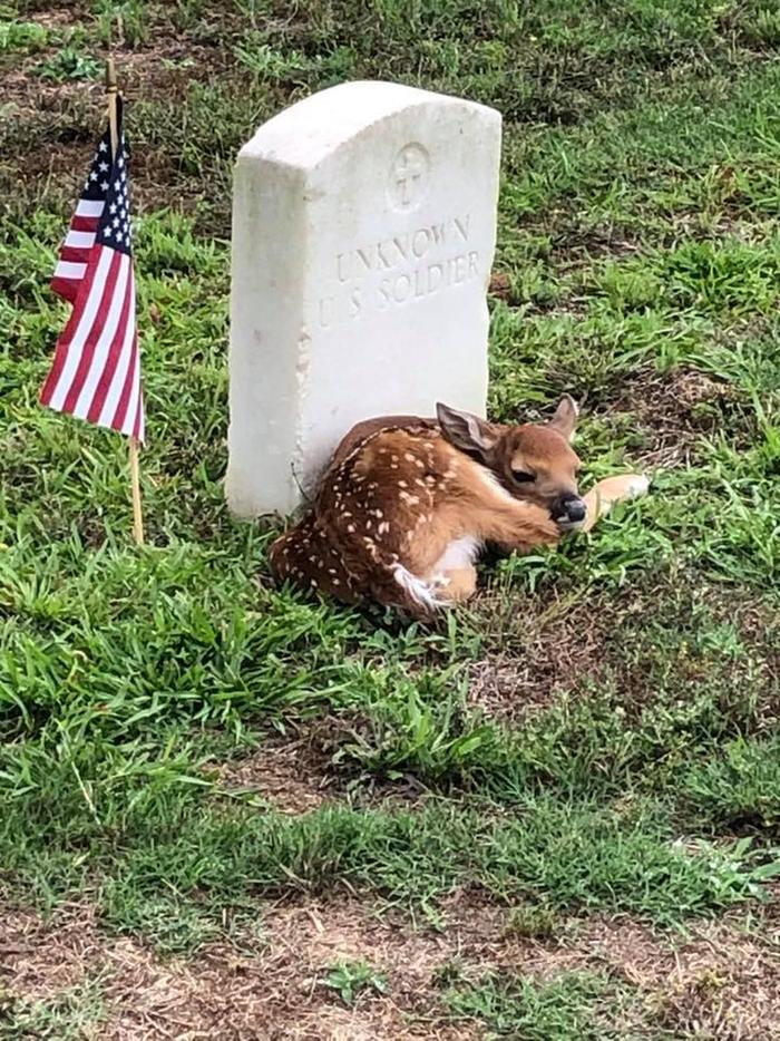White-tailed deer fawn resting at veteran's grave with US flagAndersonville NHS preserves history and provides habitat for white-tailed deer and other wildlife.