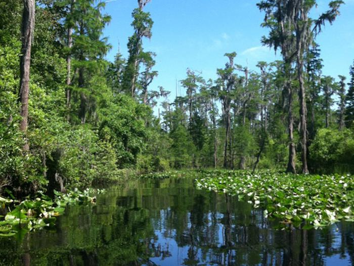 Tree-lined waterway with dark water and spatterdock on the edges of the waterway. Bright blue sky with very few clouds in the backgroundThe west side of the swamp, accessible from the Stephen C. Foster State Park, provides guests great opportunities for seeing the beautiful pond cypress trees found in the Okefenokee NWR.