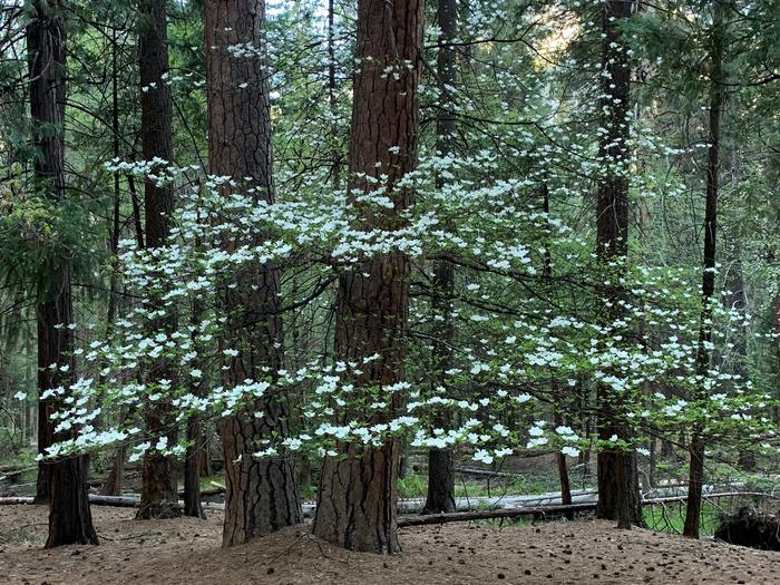 Upper Pines dogwood