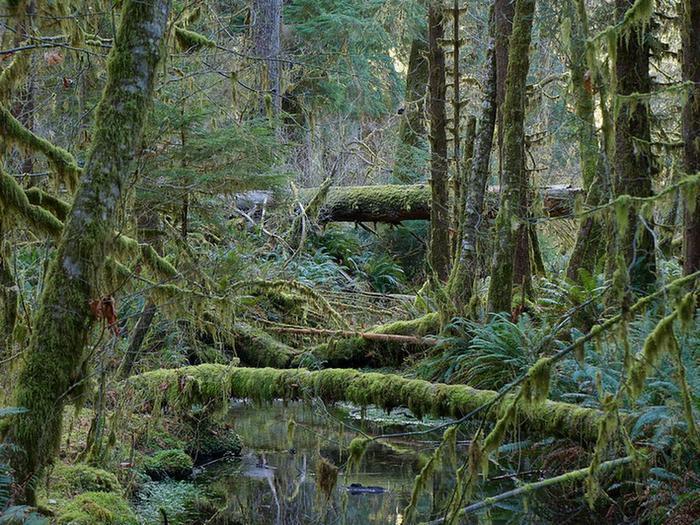 Mossy forestHoh Rainforest