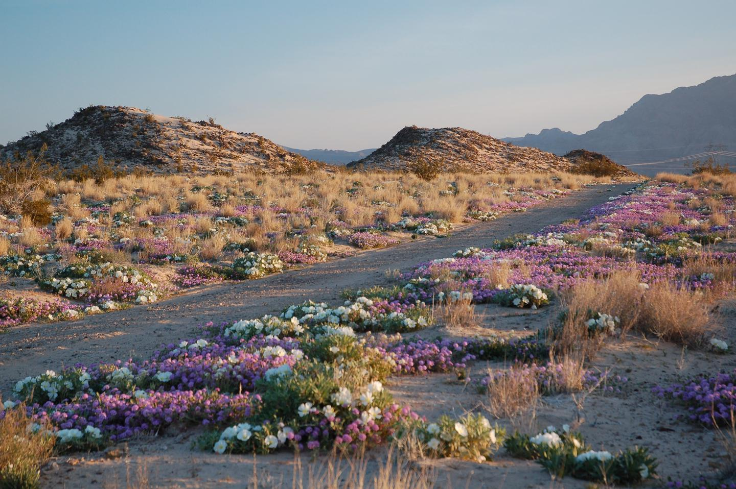 A desert road surrounded by spring wildflowersMany people visit Mojave in the spring season to view stunning wildflower displays.
