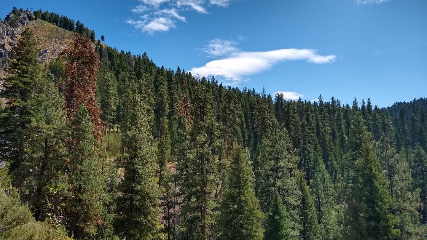 Thick evergreens under a bright blue sky.Deer Park cabin is surrounded by thick evergreens, canyons, and the North Fork of the Boise River.