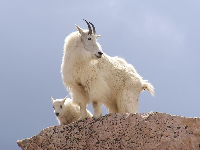 Mount GoatsMount Goats