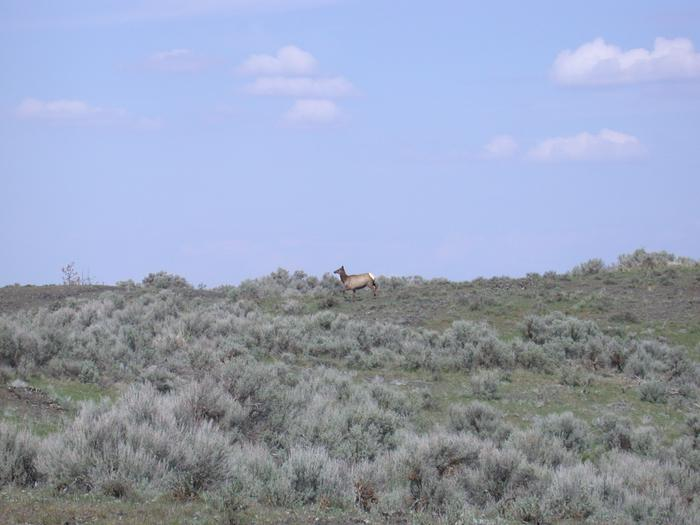Elk crossing the landscape at Telford Recreation Area