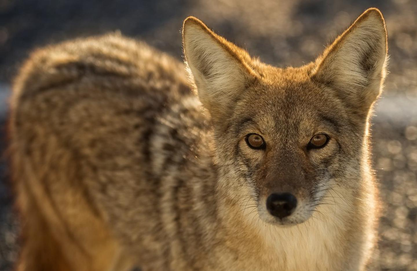 CoyoteCoyotes are often sighted along park roadways.
