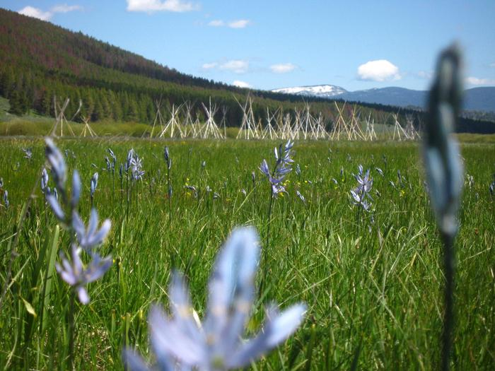 Camas Blooms Near the Nez Perce Camp at the Big HoleThe Nez Perce chose their camp site in the Big Hole in part due to the Camas, whose roots they gathered prior to the August 9th attack.