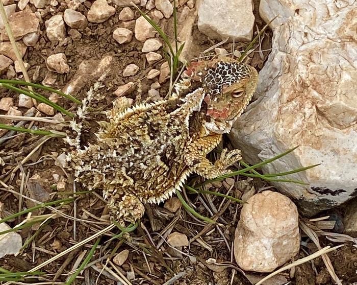 A Horned Lizard along the Tajas trail near Dog Canyon.This Horned Lizard was seen along the trail near Dog Canyon.