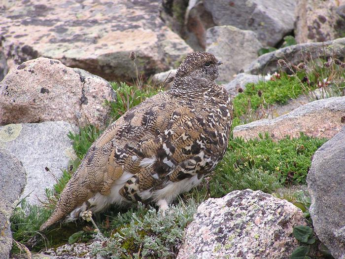 PtarmiganPtarmigan bird during summer