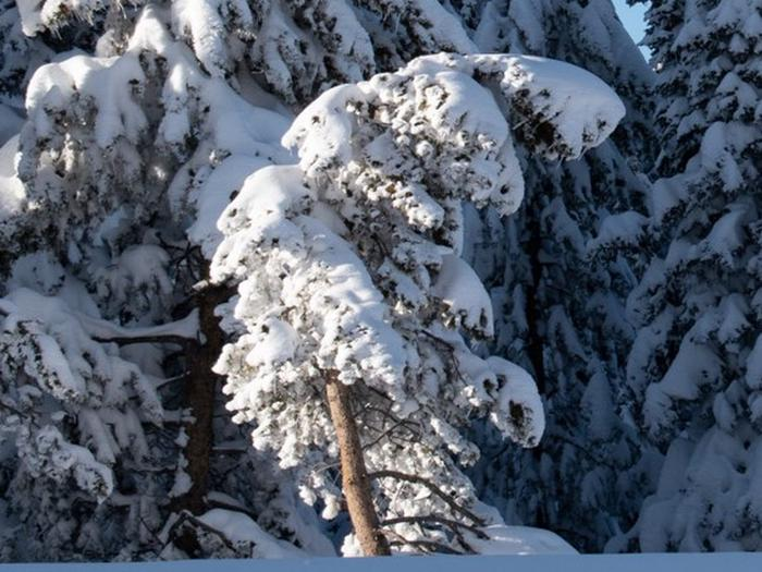 Preview photo of Prescott National Forest Christmas Tree Permit