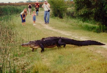 Gator Walking Across Path