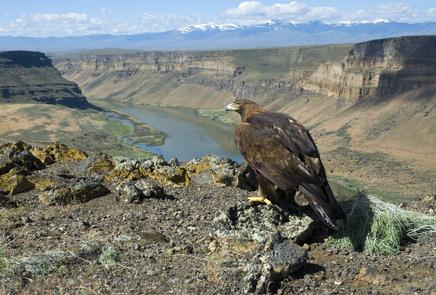 Golden Eagle at Swan Falls