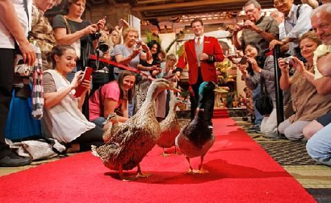 The Ducks The world famous March of The Peabody Ducks takes place daily at 11 a.m. and 5 p.m. with great fanfare. The Peabody Ducks are truly honored guests, living in grand style in their rooftop Royal Duck Palace.
